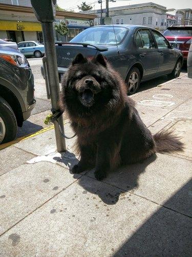 Fluffy dog.