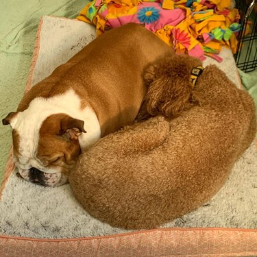 two dogs curled up against each other