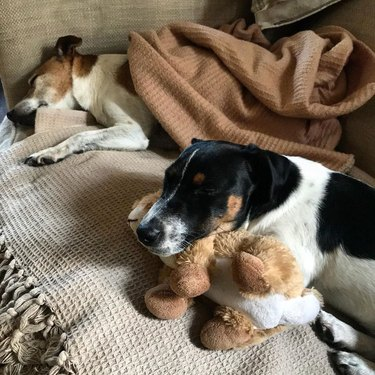 two dogs with stuffed toys and blankets