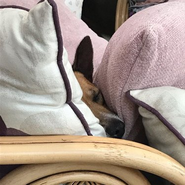 a dog between two pillows