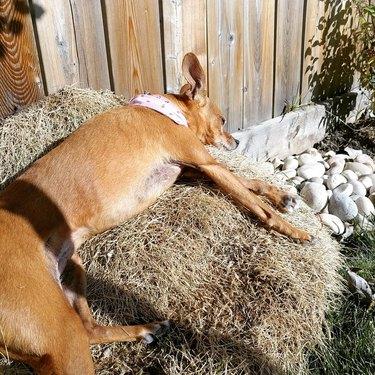 a dog sleeping on hay