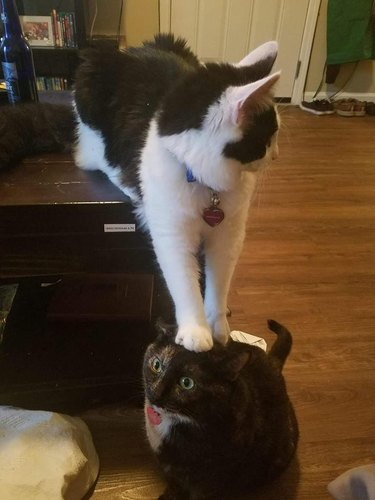 Cat sitting with its front paws pressing down on other cat's head