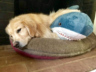 golden retriever naps in dog bed with stuffed shark