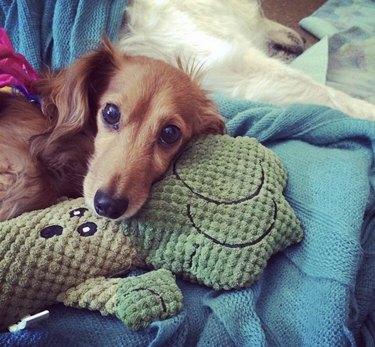 dog cuddles with stuffed broccoli