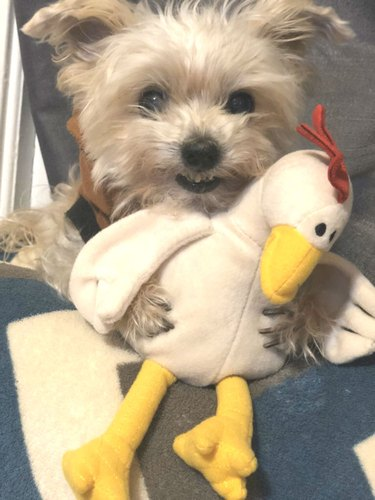dog pictured with stuffed chicken