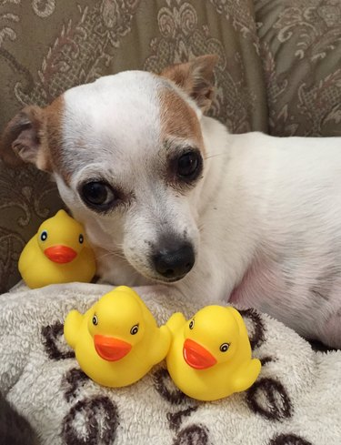 dog pictured with rubber duckies
