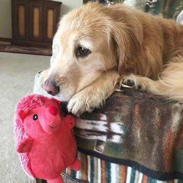 dog holds stuffed hedgehog