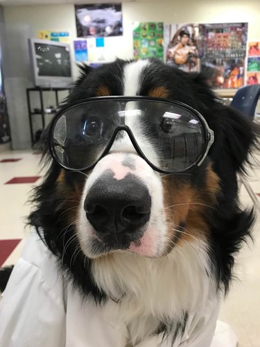 Bernese Mountain Dog wearing lab coat and safety goggles.