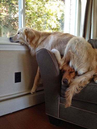Dog sitting on other dog to look out window.