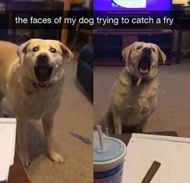 Dog trying to catch a french fry