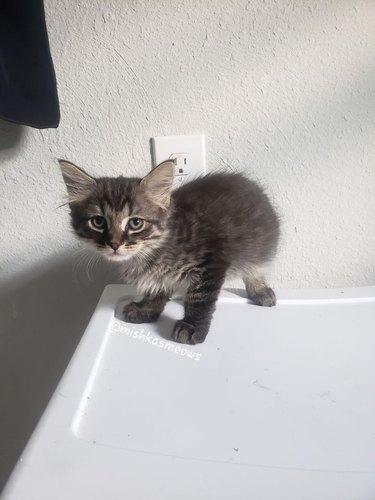 Kitten named Pocket Lint standing on whitecounter
