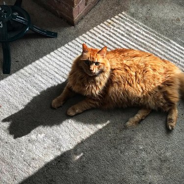 large orange cat named Admiral Snackbar laying in the sun