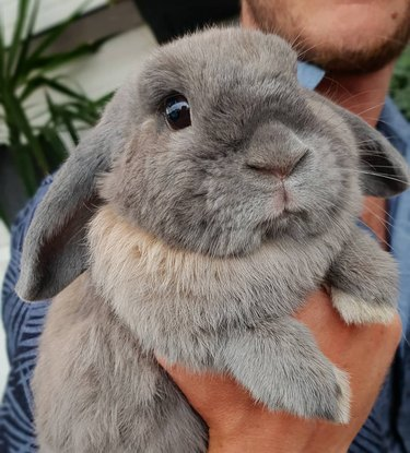 gray lop-eared rabbit named Smudge