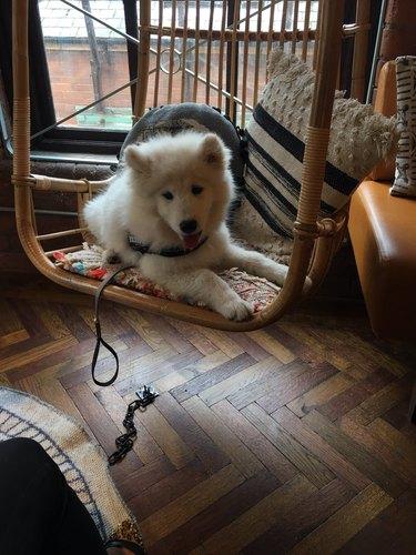 husky dog named Nova sitting in chair on floor