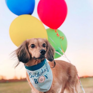 a dog with birthday bib and balloons