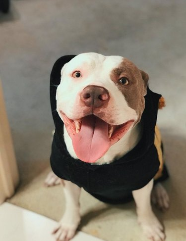 smiling pitbull with teeth showing