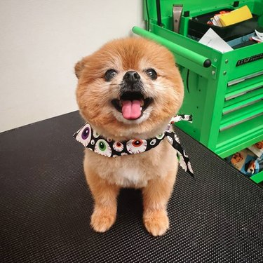 smiling pomeranian with scarf