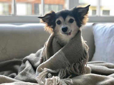 Dog in a blanket with its tongue sticking out.