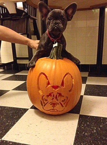 French bulldog puppy standing on top of a pumpkin with a french bulldog's face carved into it.