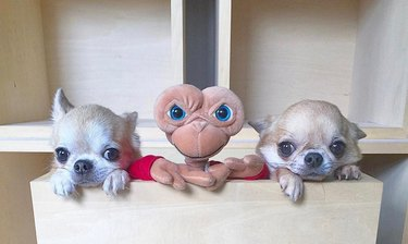 Are chihuahuas actually just furry aliens camouflaged as dogs? Let's investigate!