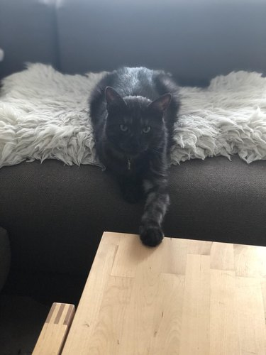 cat not allowed on table extends paw towards table