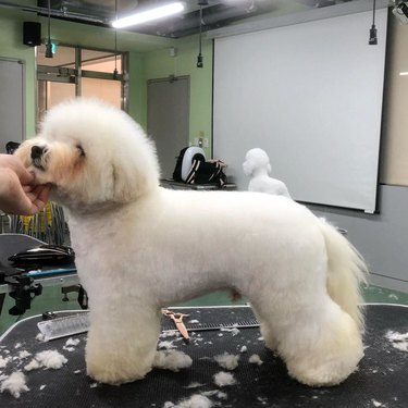 bichon frise being groomed