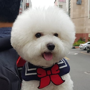 bichon frise in a backpack
