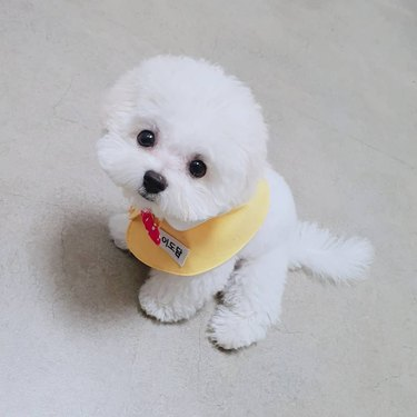 bichon frise puppy with bib