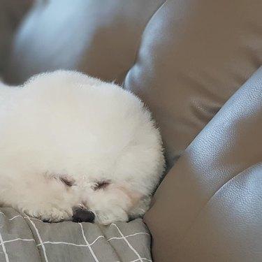 bichon frise sleeping