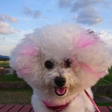 a bichon with pink highlights in its fur