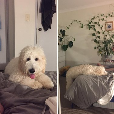 dog cheats no bed rule by keeping two feet on ground