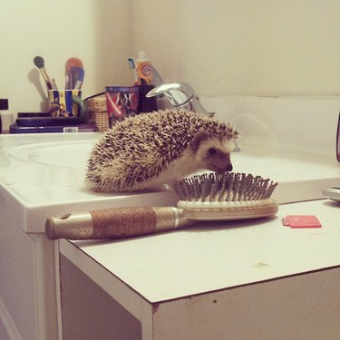 Hedgehog with a similarly-colored hairbrush.
