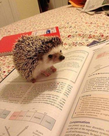 Hedgehog sitting on a textbook.