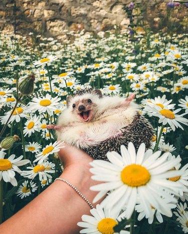 Happy-looking hedgehog in a field of daisies.