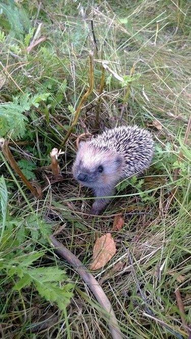 Baby hedgehog in a field.