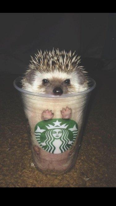 Hedgehog in a Starbucks cup.