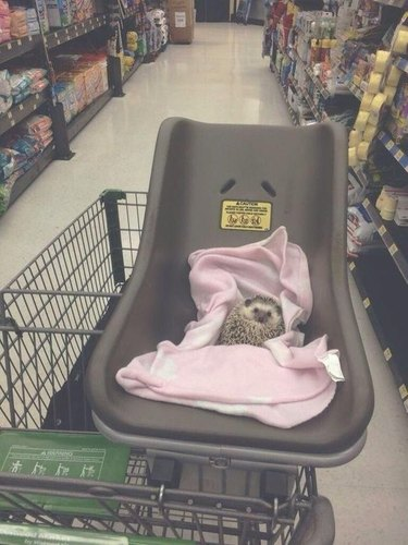 Hedgehog riding in a shopping cart.
