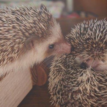 Hedgehog nuzzling another hedgehog.