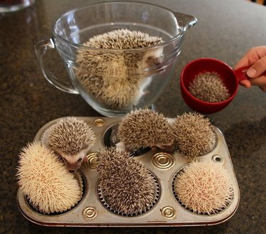 Baby hedgehogs in a muffin tin.