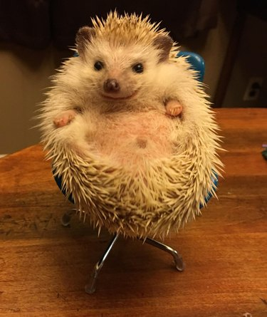 Hedgehog sitting in a tiny chair.