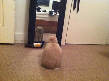 Bunny contemplating itself in a mirror