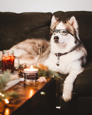 dog on a couch wearing glasses