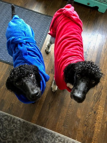 two black poodles in bathrobes