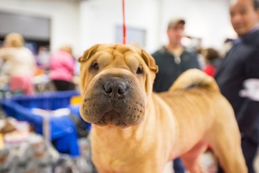 Cute Shar Pei dog at the National Dog Show