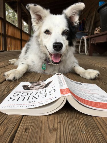 Chaser the Border Collie with a book