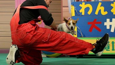 Daifuku the dog jumping over her owner's leg