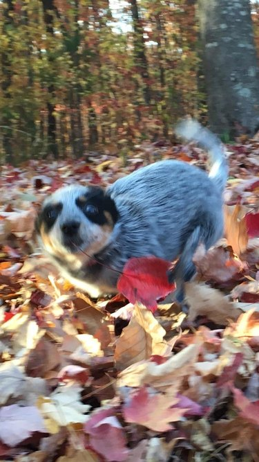 Puppy running through leaves.