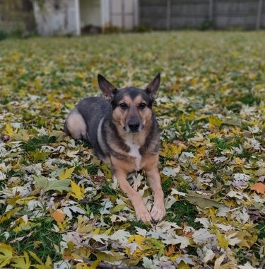 German shepherd dog sitting on a bunch of leaves