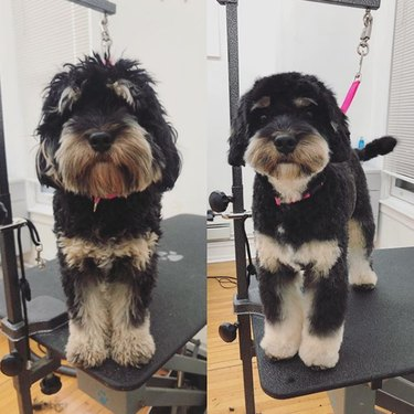 a cockapoo before and after grooming
