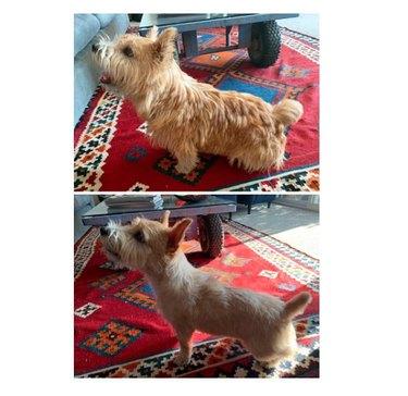 a groomed norwich terrier